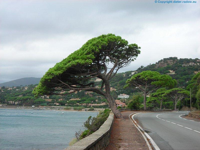 Frankreich St.Tropez Straßenrand-Kiefer
