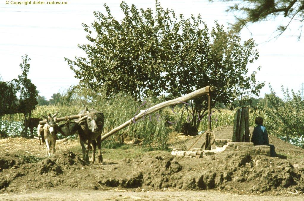 19 Nildelta-Oase: Brunnenbewässerung mit Ochs- und Esel-Antrieb