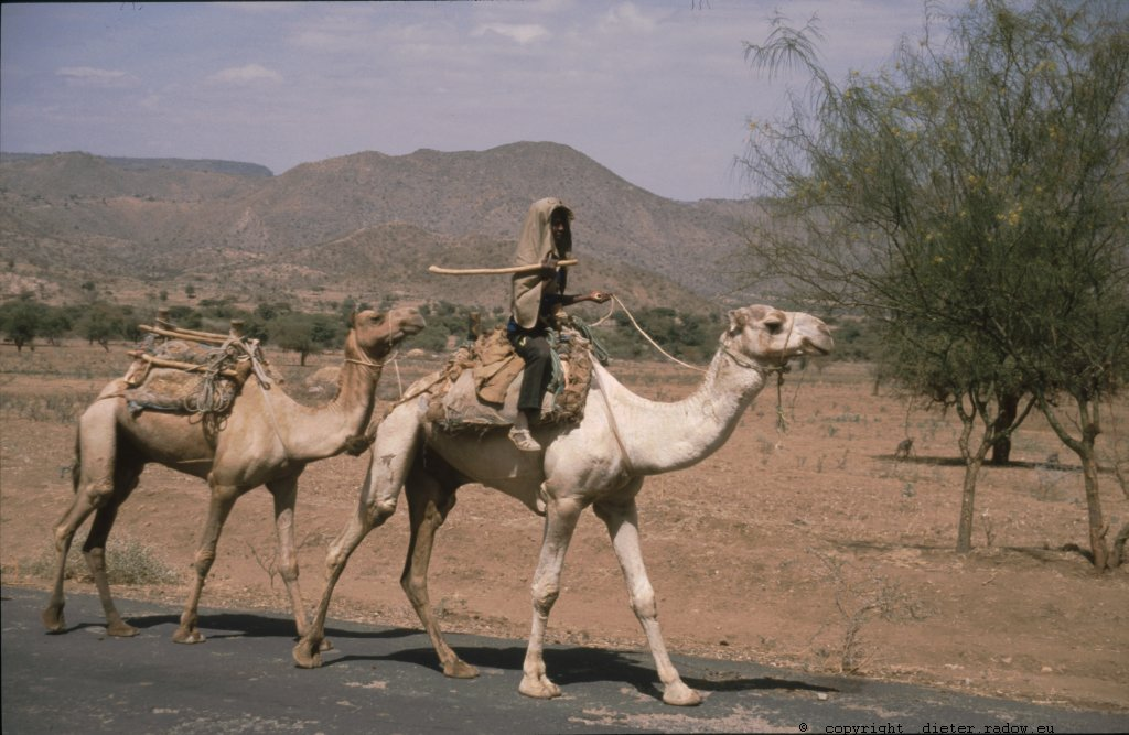 Eritrea 1997 ° ° ° camel transport on the road ° ° ° Kameltransport auf der Landstraße