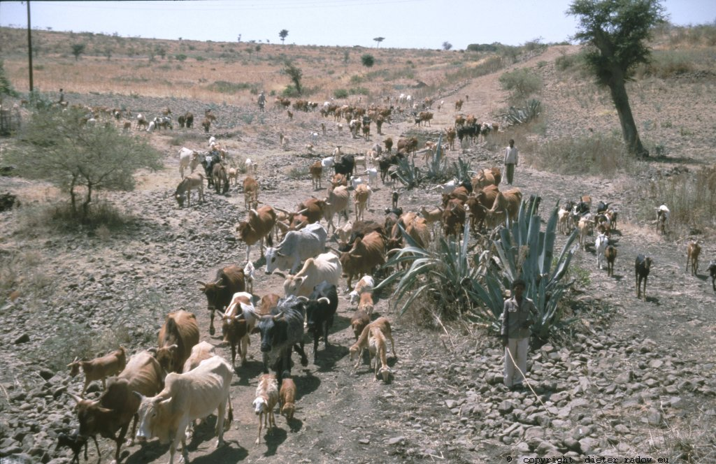 Ethiopia 1997 ° ° ° daily cattle drive; the wealth of the Sahel ° ° ° Täglicher Trieb des Viehs zu Weideplätzen und Wasserstellen: der Reichtum des Sahels