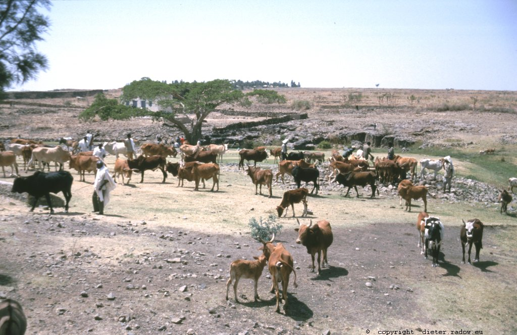 Ethiopia 1997 ° ° ° daily cattle drive to grass and to waterholes; the wealth of the Sahel ° ° ° Täglicher Trieb des Viehs zu Weideplätzen und Wasserstellen: der Reichtum des Sahel