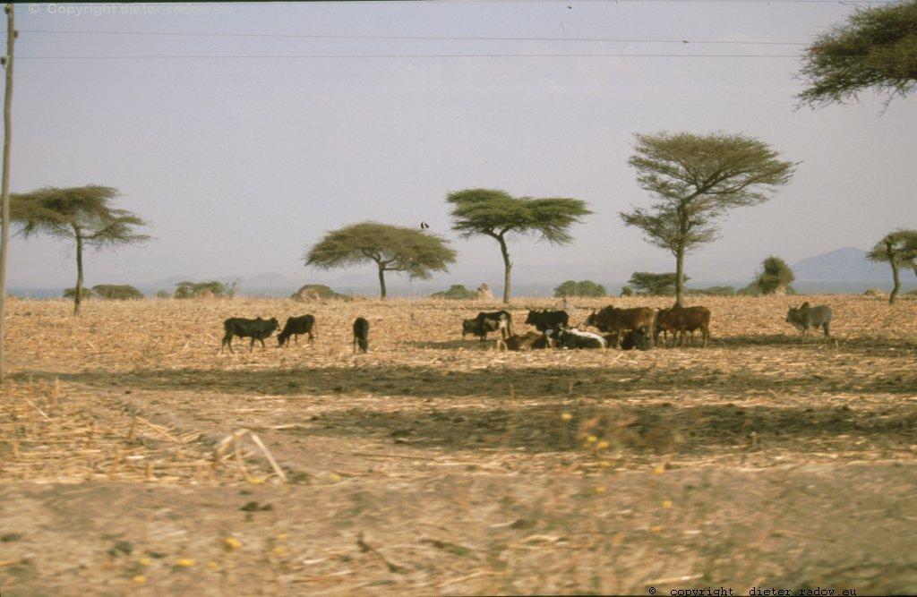Rinderzucht in Äthiopiens.Süden