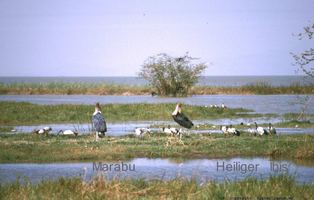 AES 416 Marabu und heiliger Ibis