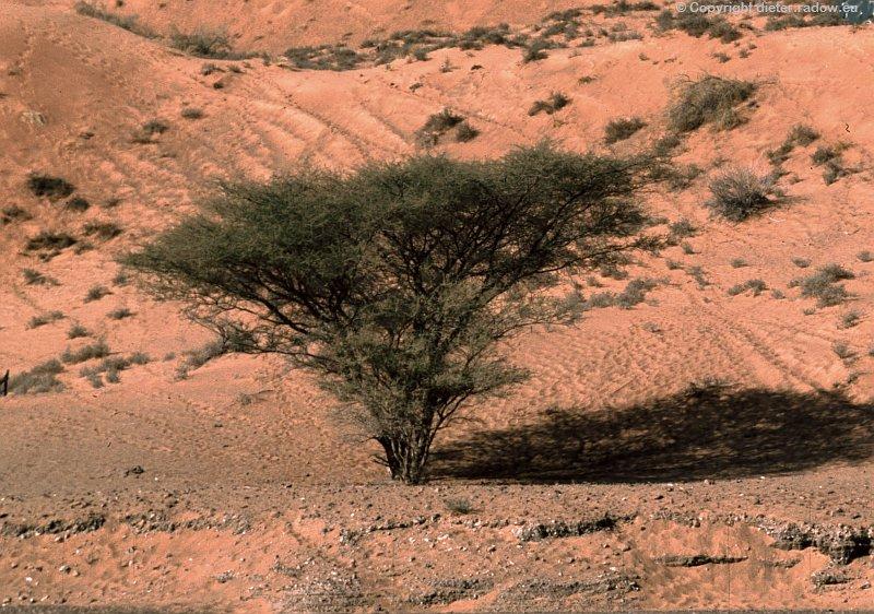 Oman-Wüsten-Akazie
