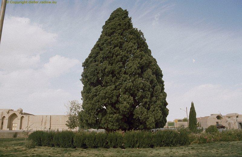 iran- Abarkuh angebl 4000 Jahre alte Zypresse