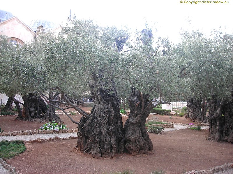 israel-jerusalem-uralte-oelbäume-am-oelberg