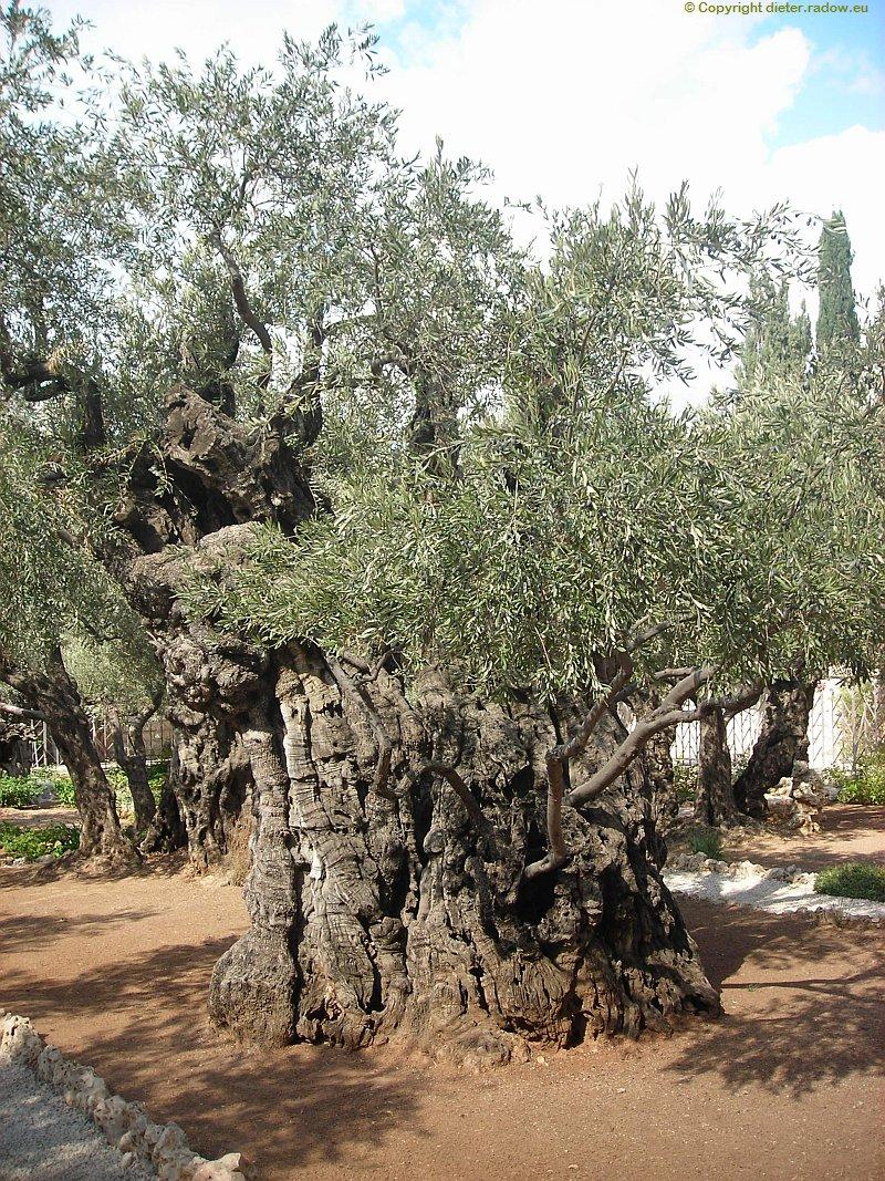 israel-jerusalem-uralte-oelbäume-am-olberg