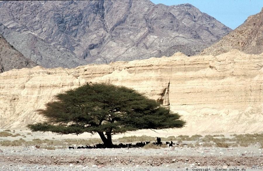 Ägypten Sinai Schirmakazie in Wadi-Senke 419