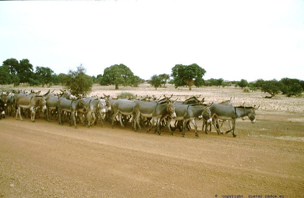 132 Burkina Faso Gorom Gorom Eseltrieb in die Stadt