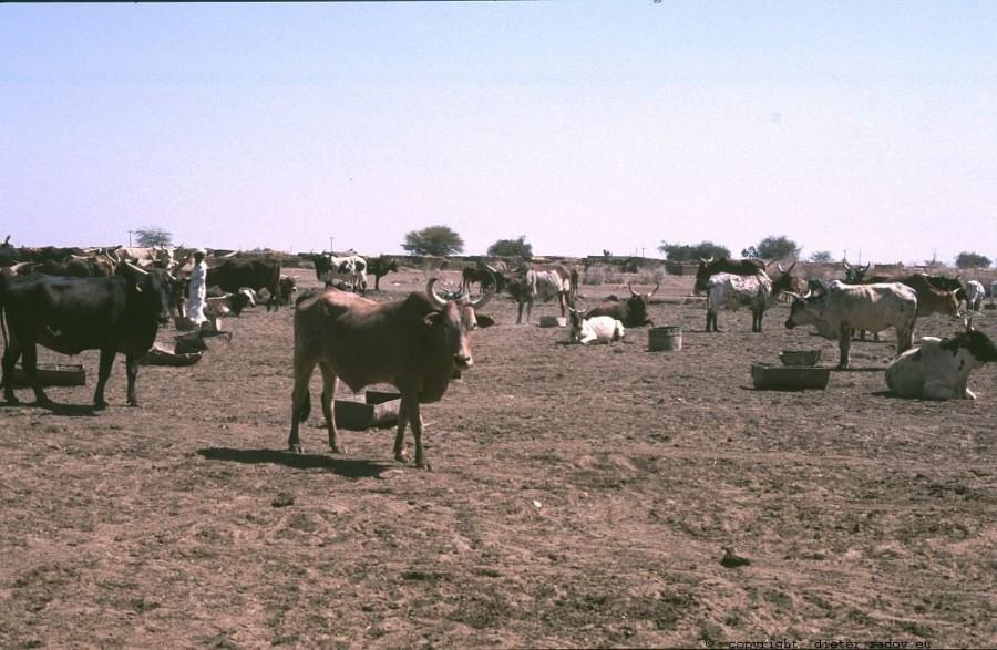 155 Burkina Faso Gorom Gorom24 Warten auf Verladung als Schlachtvieh