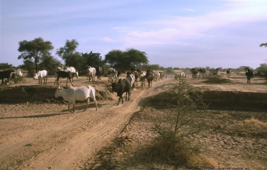 203 Burkina Faso Viehtrieb von Wasserloch zu Wasserloch