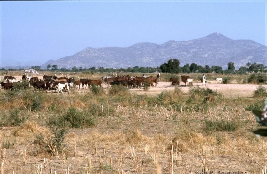 249 Kamerun Nord - Kapsiki Kulturland Rinderherde