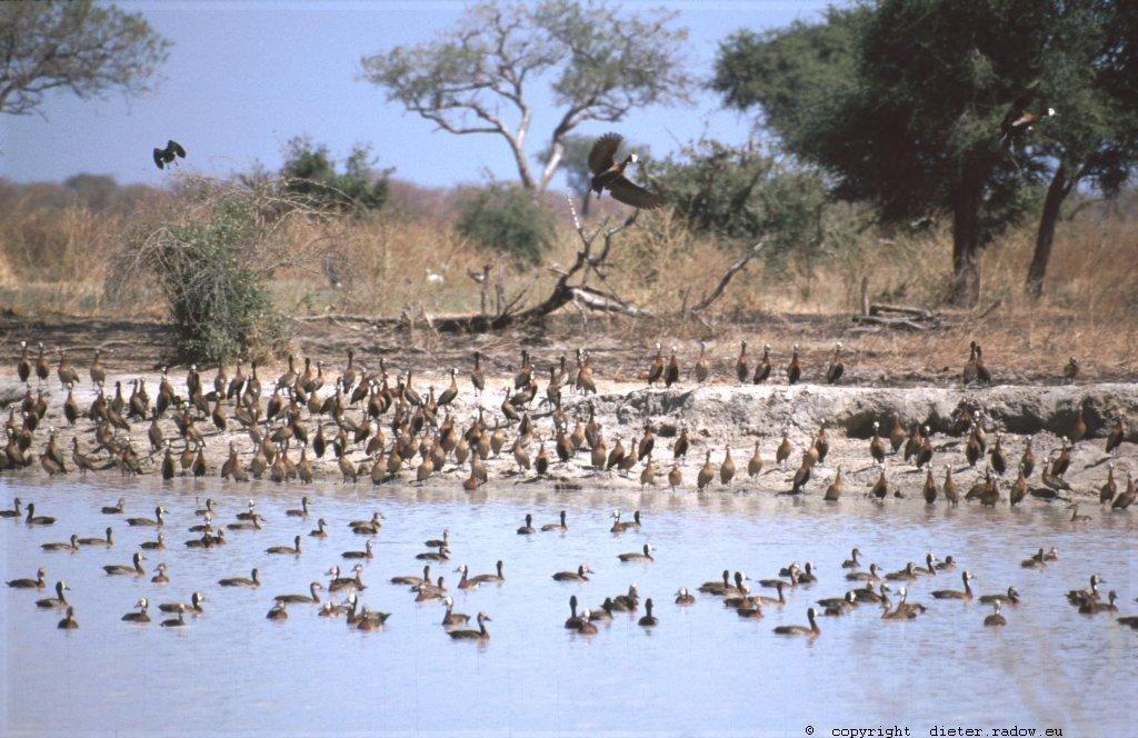 281 Kamerun Nord - Waza Witwenpfeiffgänse