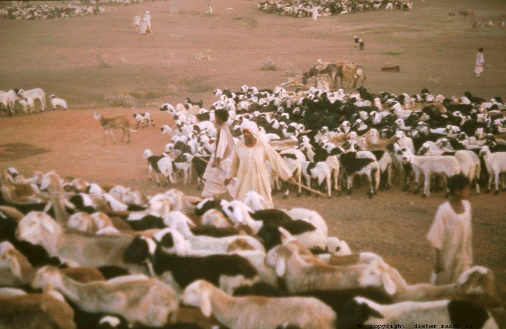 325Sudan Wad Medani Viehtrieb über die Brücke