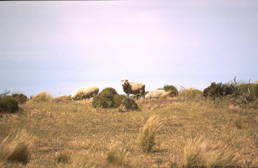 Patagonien-1993 Schafe