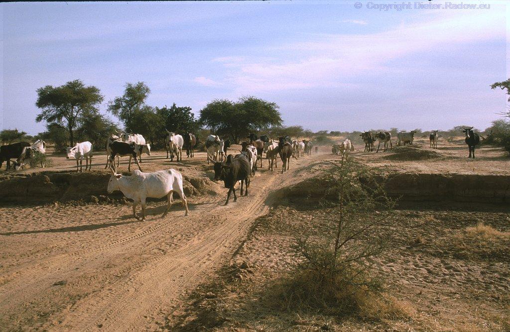 Täglicher Viehtrieb im Sahel
