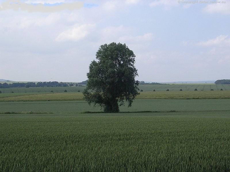 Bisperode Weizenfeld
