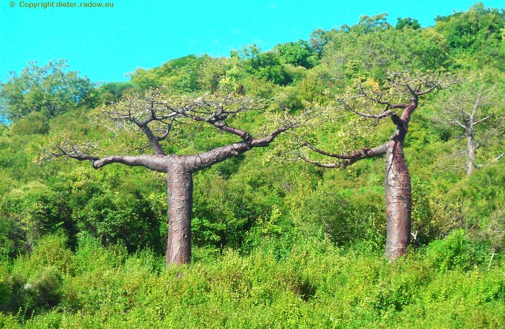 Madagaskar-Baobab mit waagekrechten Ästen