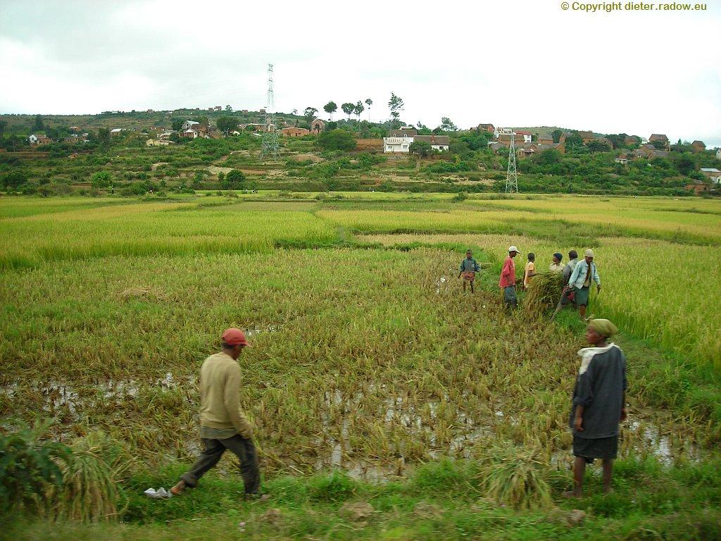 Reisanbau im Mittelgebirge