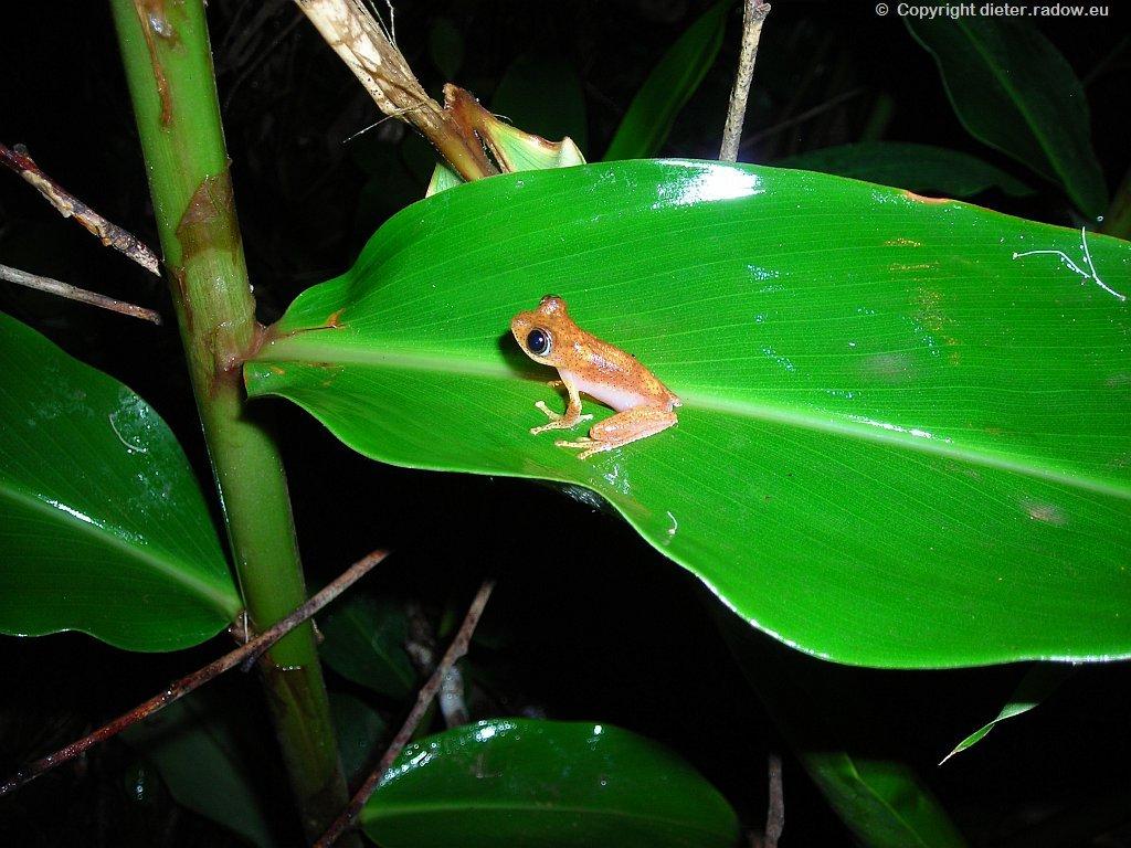 kleinster Frosch