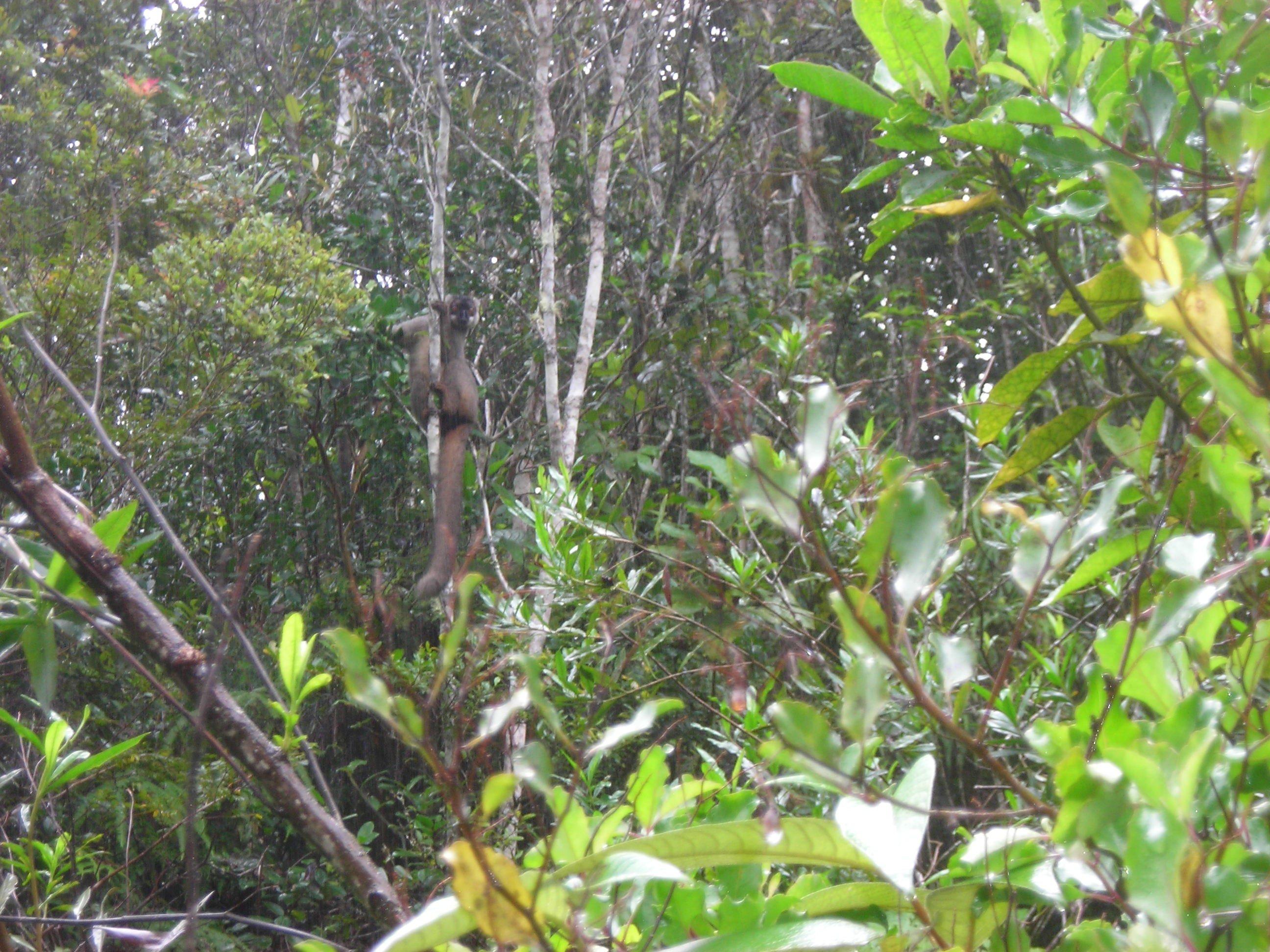 Lemure im Dschungel