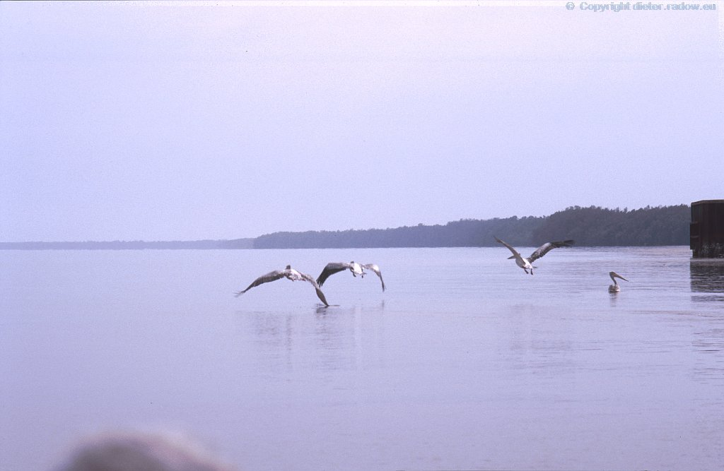 Gambia-River Pelikane aus dem Wasser auffliegend