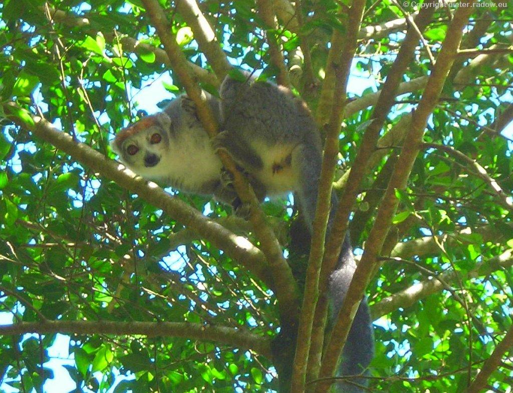Lemur am Dorfrand