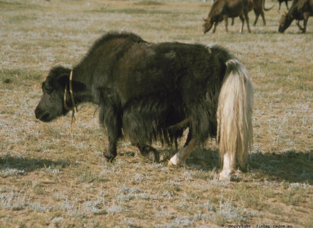 Mongolei 240