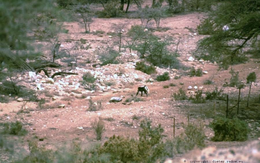 Simbabwe Affe im Wadi
