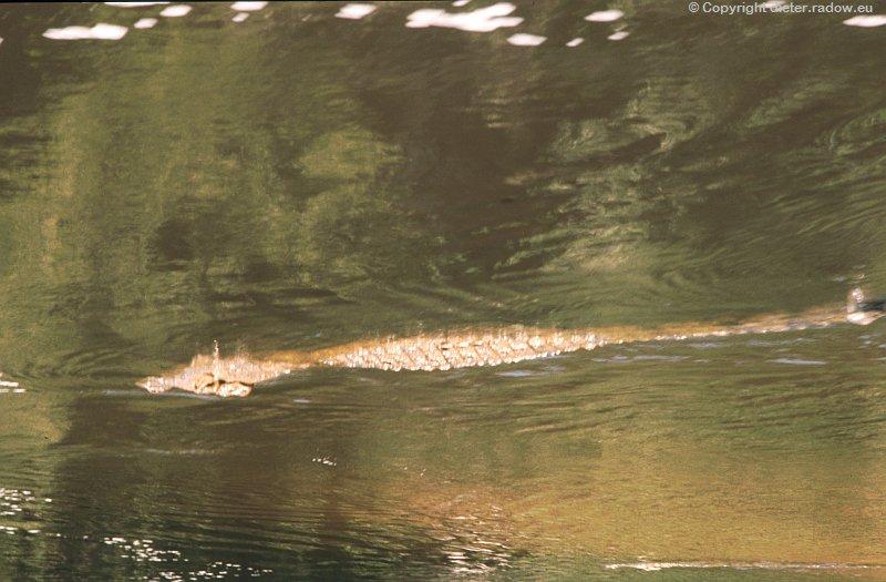Uganda Krokodie suchen Beute unter dem Fall