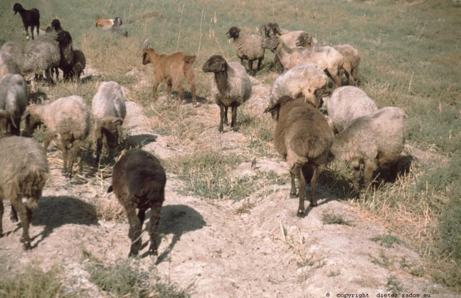 Usbekistan Karshinskaja-Steppe Breitschwanzhammel