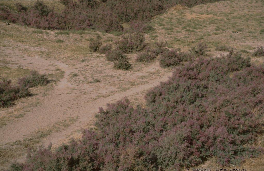 Usbekistan - Turan Steppe Senke mit Heidekraut
