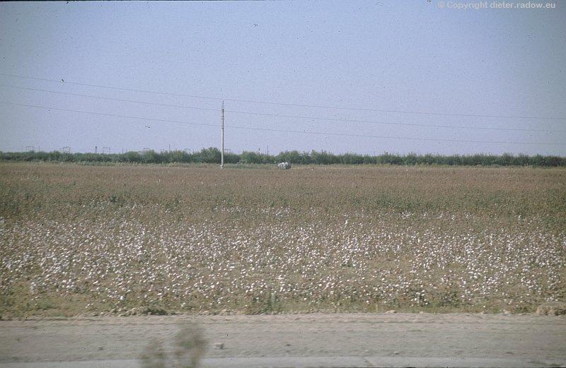 Usbekistan reifes Baumwollfeld