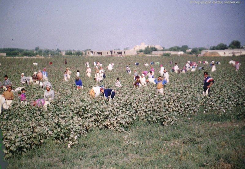 Uzbekistan Ein Baumwollfeld wird geerntet