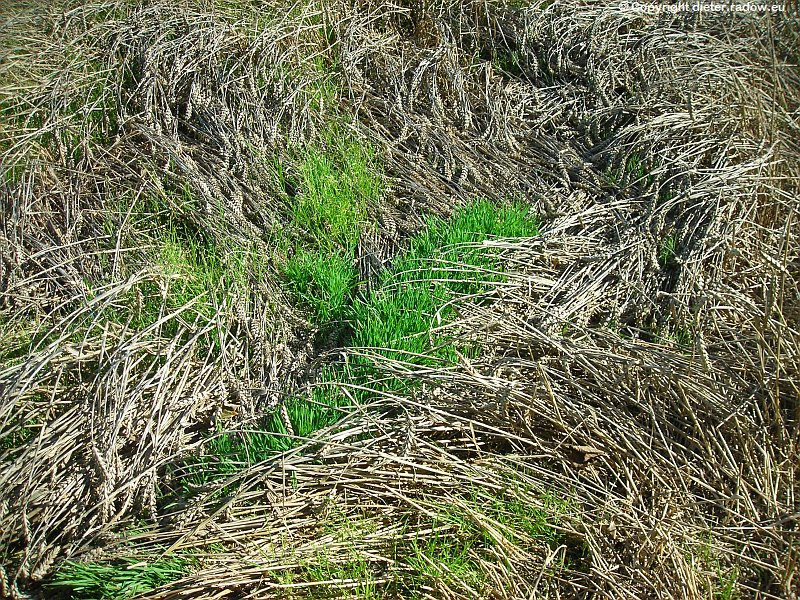 Weizenj verregnet Mutterkorn