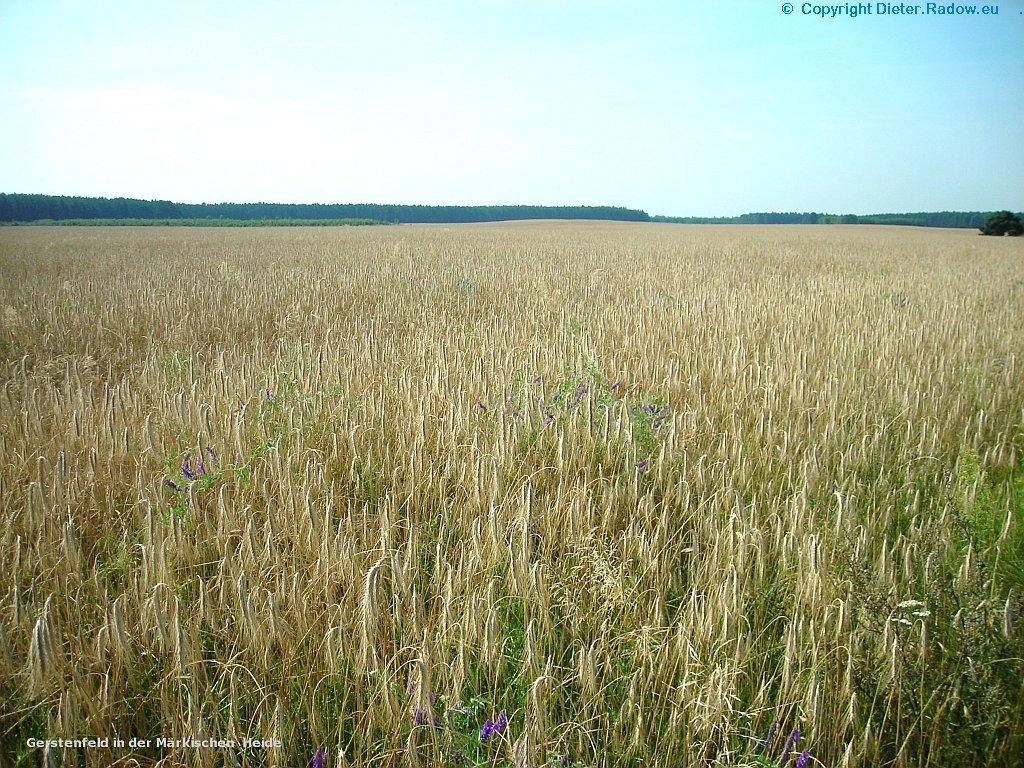 Gerstenfeld in der Märkischen Heide