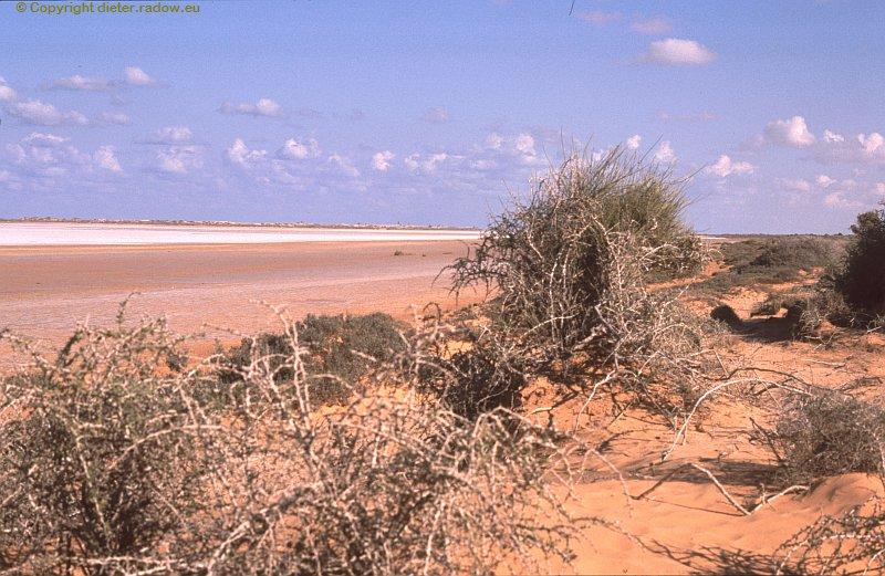 Zz Libyen Salzresistente Wüstengewächse