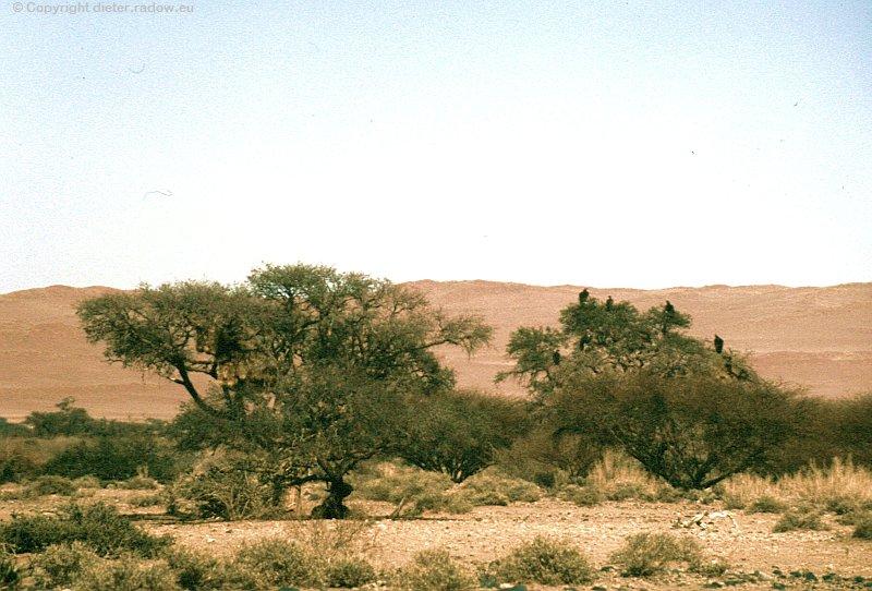 Zz NamibiafNamib-Naukluft-Wüste Bäume im Wadi