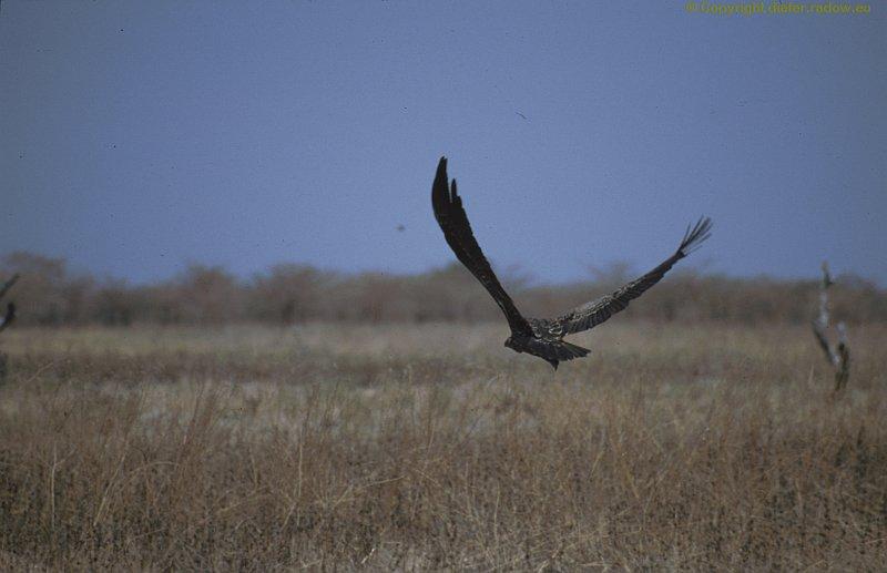 Adler zur Landung