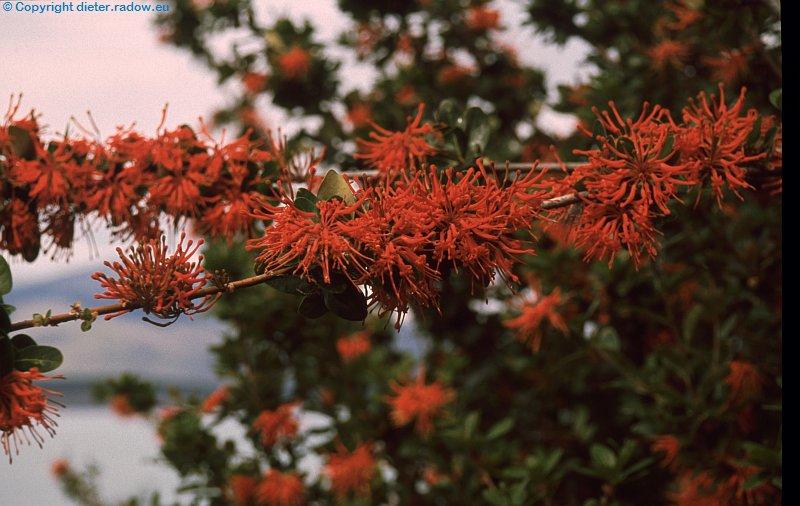 Argentinien Feuerland Feuerbusch
