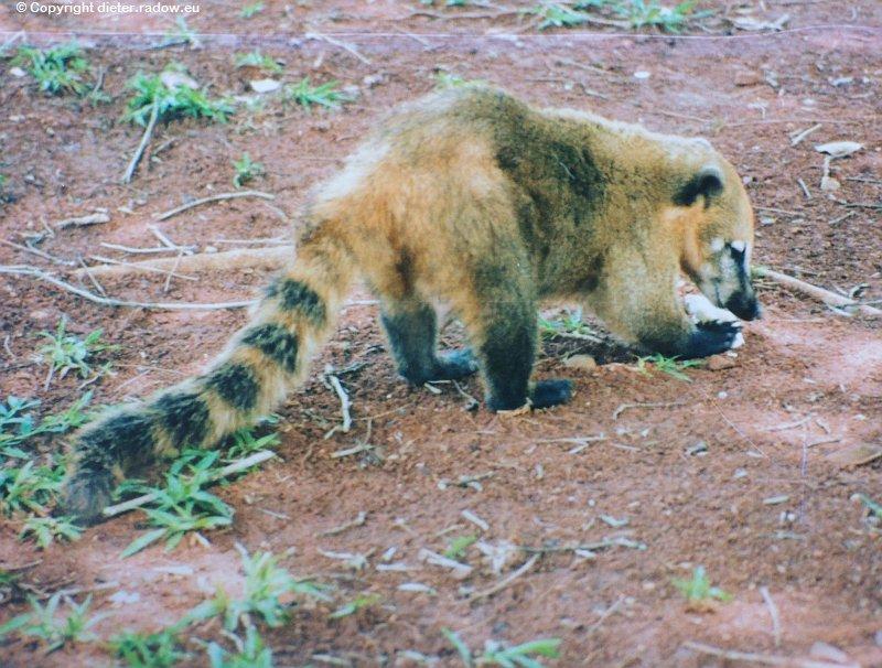 ArgentinienSüdamerik Nasenbär Coati