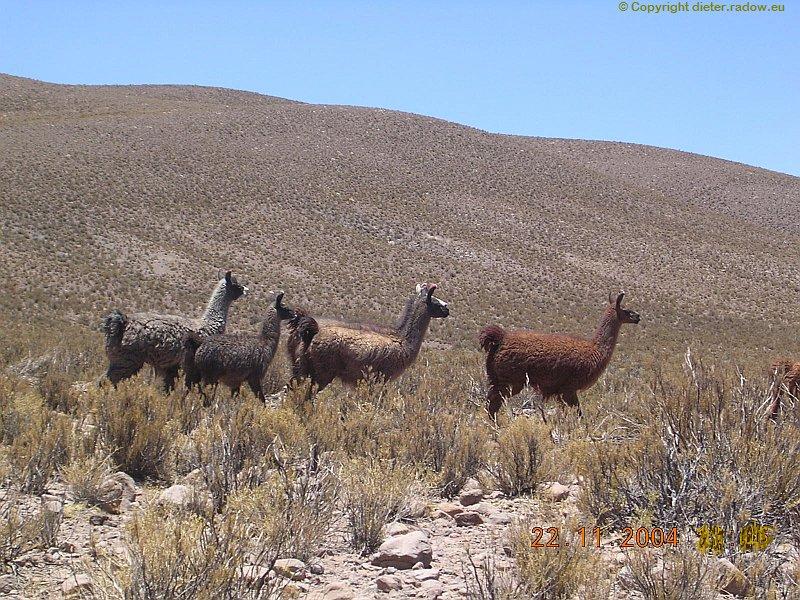 Bolivien Altoplano Guanakos