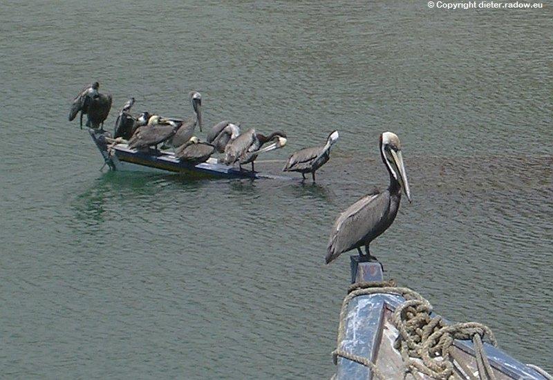 Brauner Pelikan Karibik