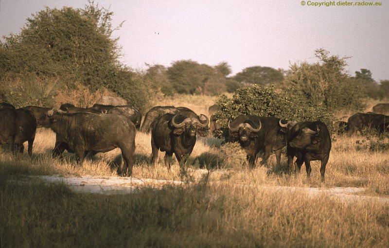 Chobe Büffel kommen näher