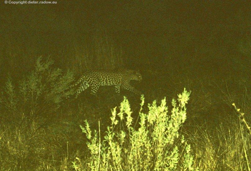 Chobe der Leopard schleicht sich davon