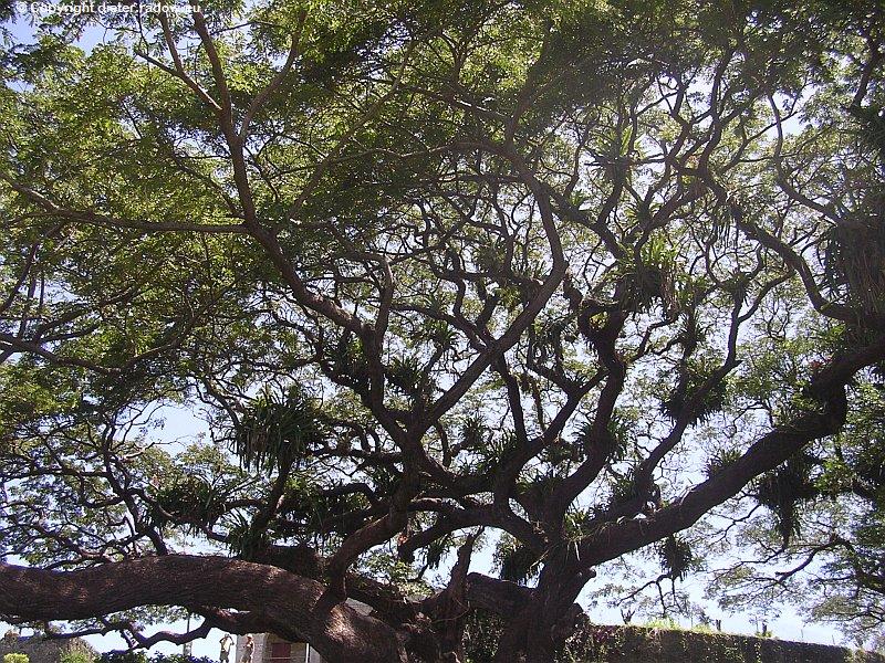 DSCN8537 Schmarotzerpflanzen im Tropenbaum