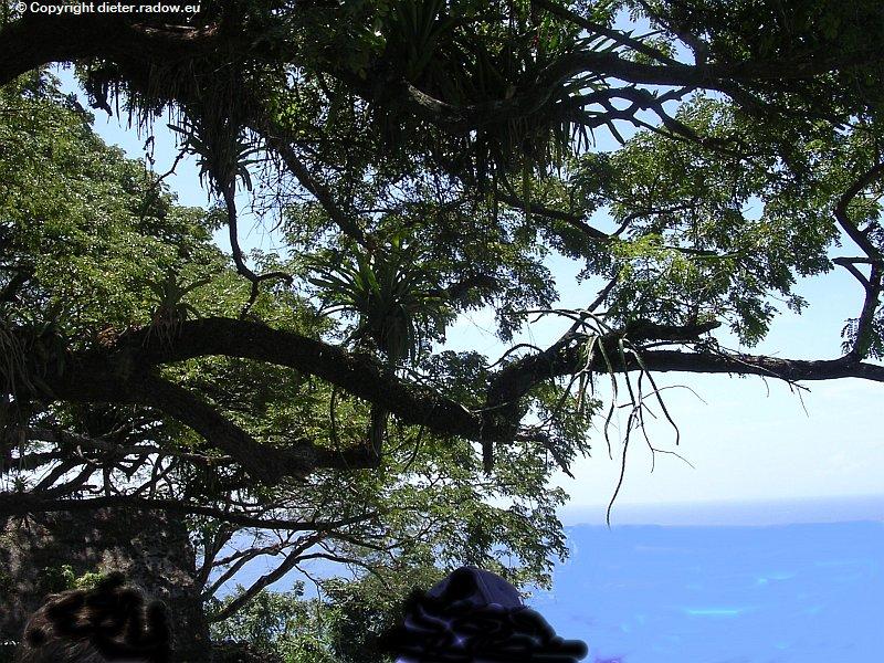 Tropischer Baumwuchs in der Karibik