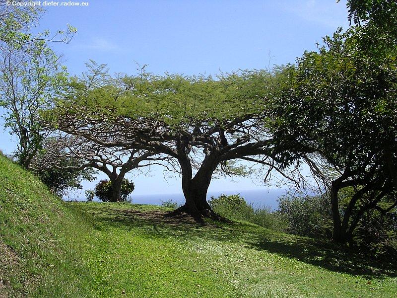 Karibik - Tropen-Laubbaum