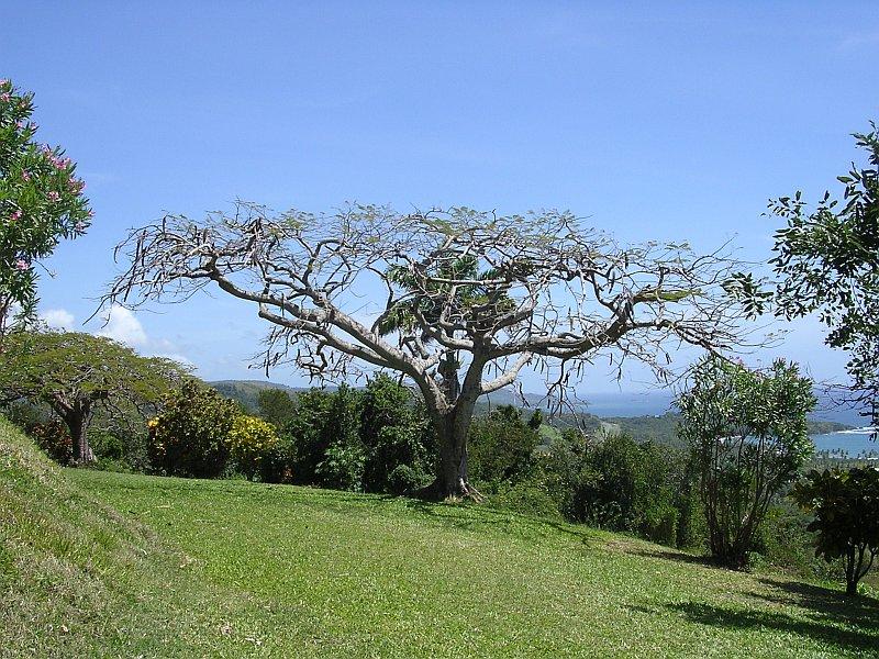 Tropenbaum in Trocken-Kahle gegen die Hitze
