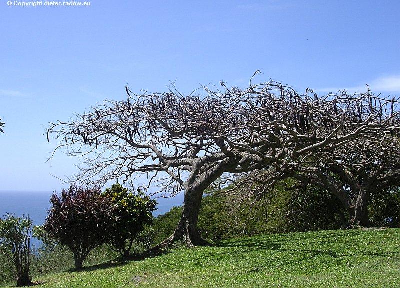Tropenbaum in Trocken-Kahle mit Samen-Schoten
